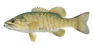 fish-bass-smallmouth