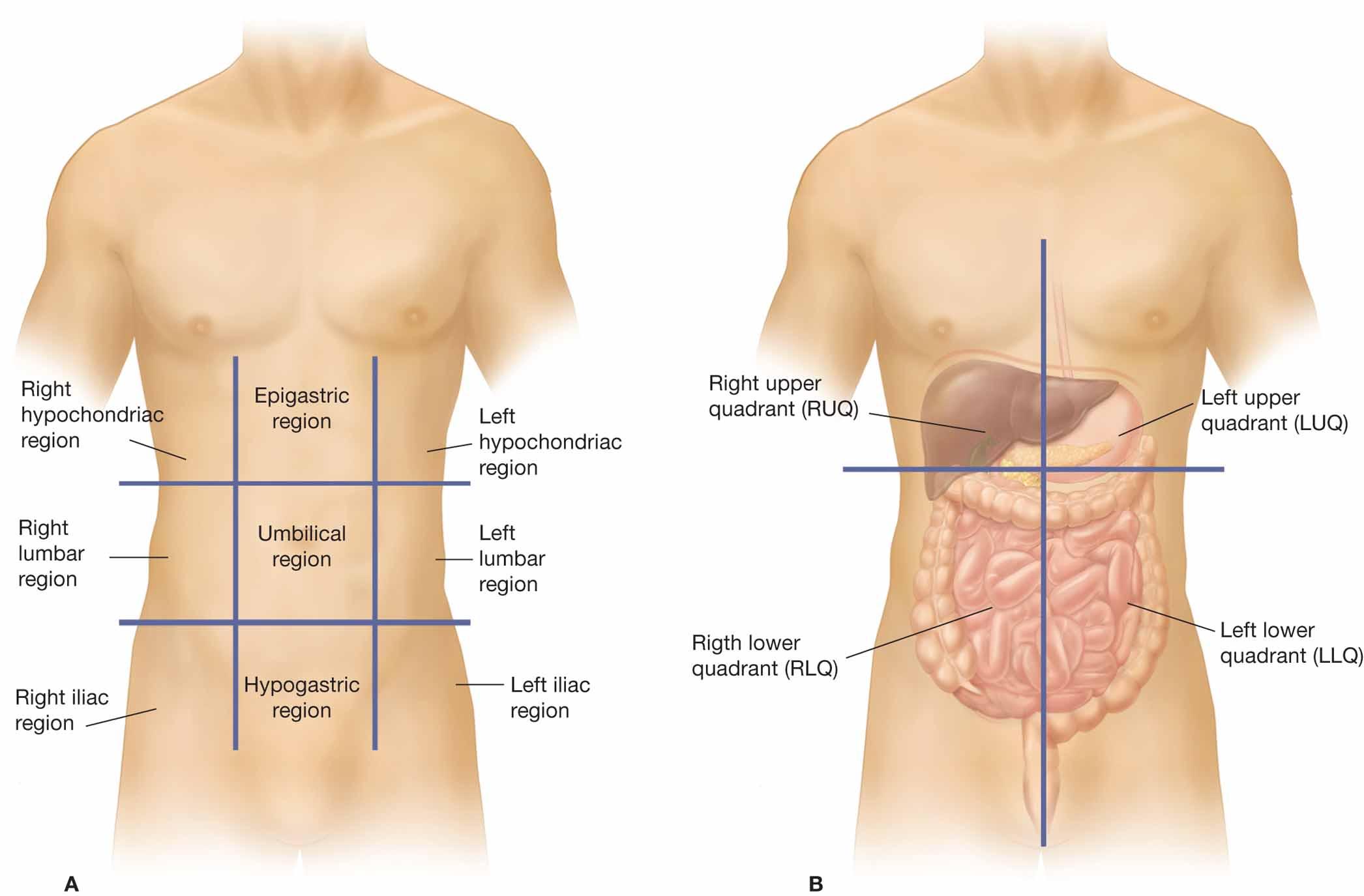 Abdomen Hole Organs