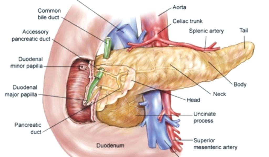 pancreas-anatomy-parts-diagram-human-and-physiology